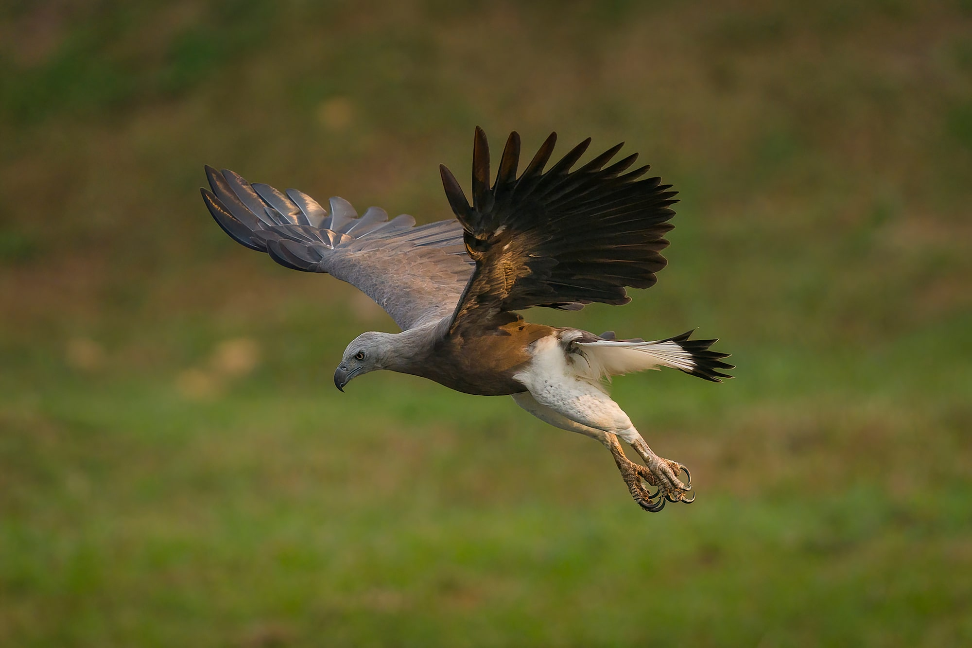 Sony Alpha 7R IV's fast shooting speed of up to approx. 68 images nails the perfect shot of flying Grey-headed Fish Eagle.