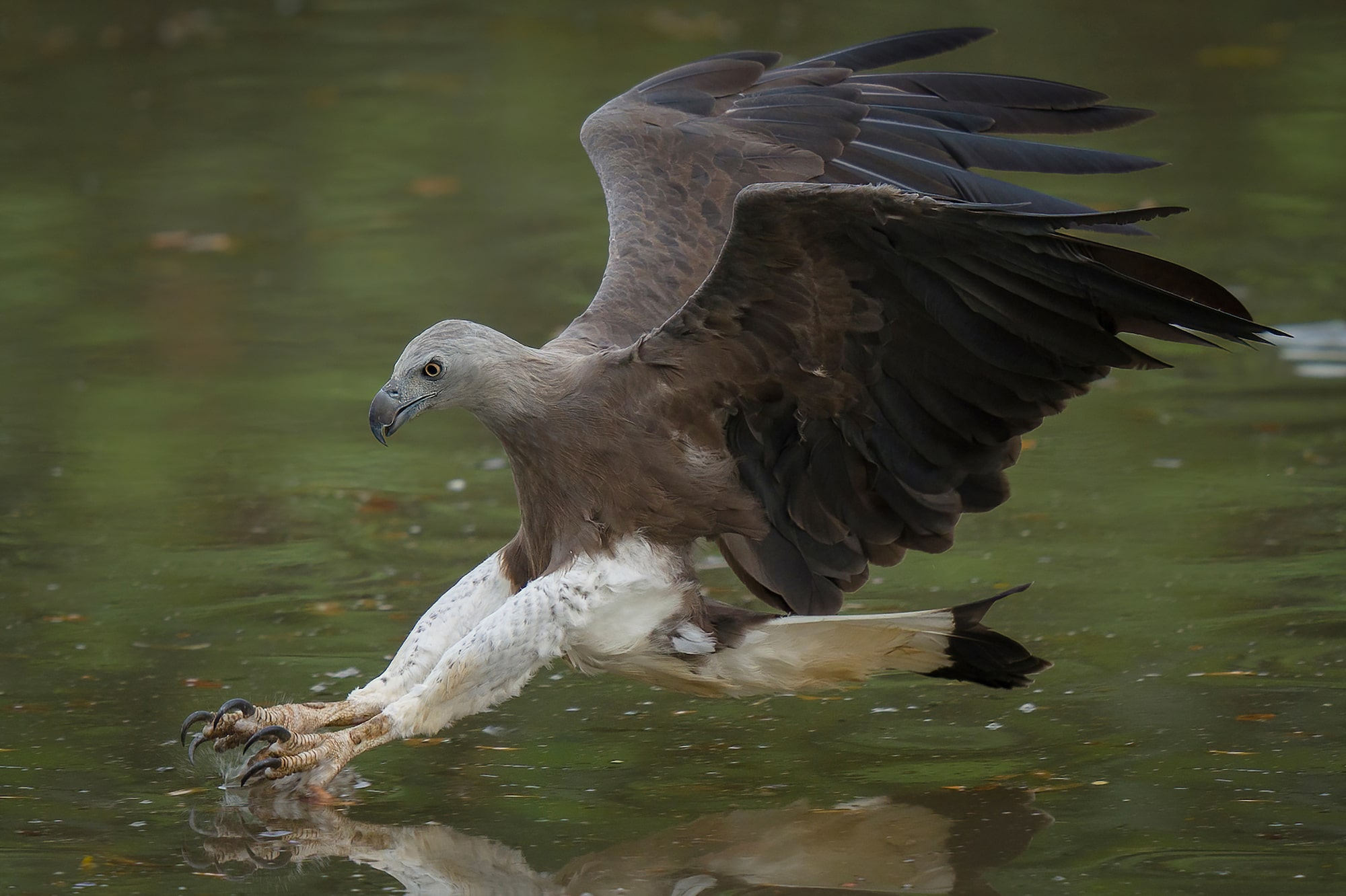 Sony Alpha 7R IV's 61 megapixels retain high resolution of flying Grey-headed Fish Eagle even when shooting in 1.5x APS-C crop mode.