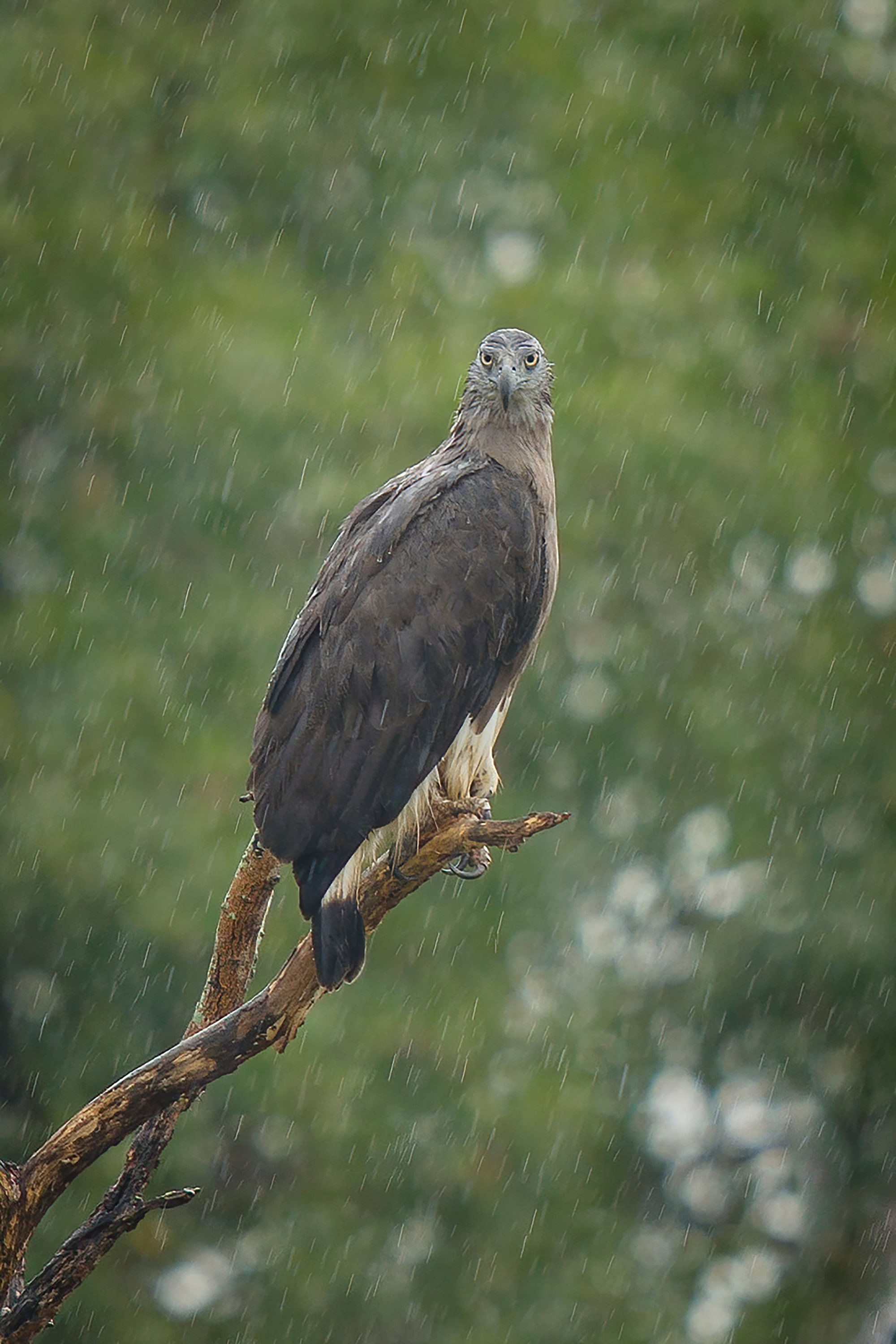 Sony Alpha 7R IV is tough in wet conditions. Grey-headed Fish Eagle in rain with approx. 3.8x crop, captured by Sony Alpha 7R IV.