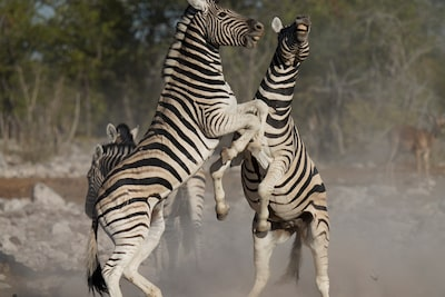 Image of two zebras facing each other with their front hooves raised