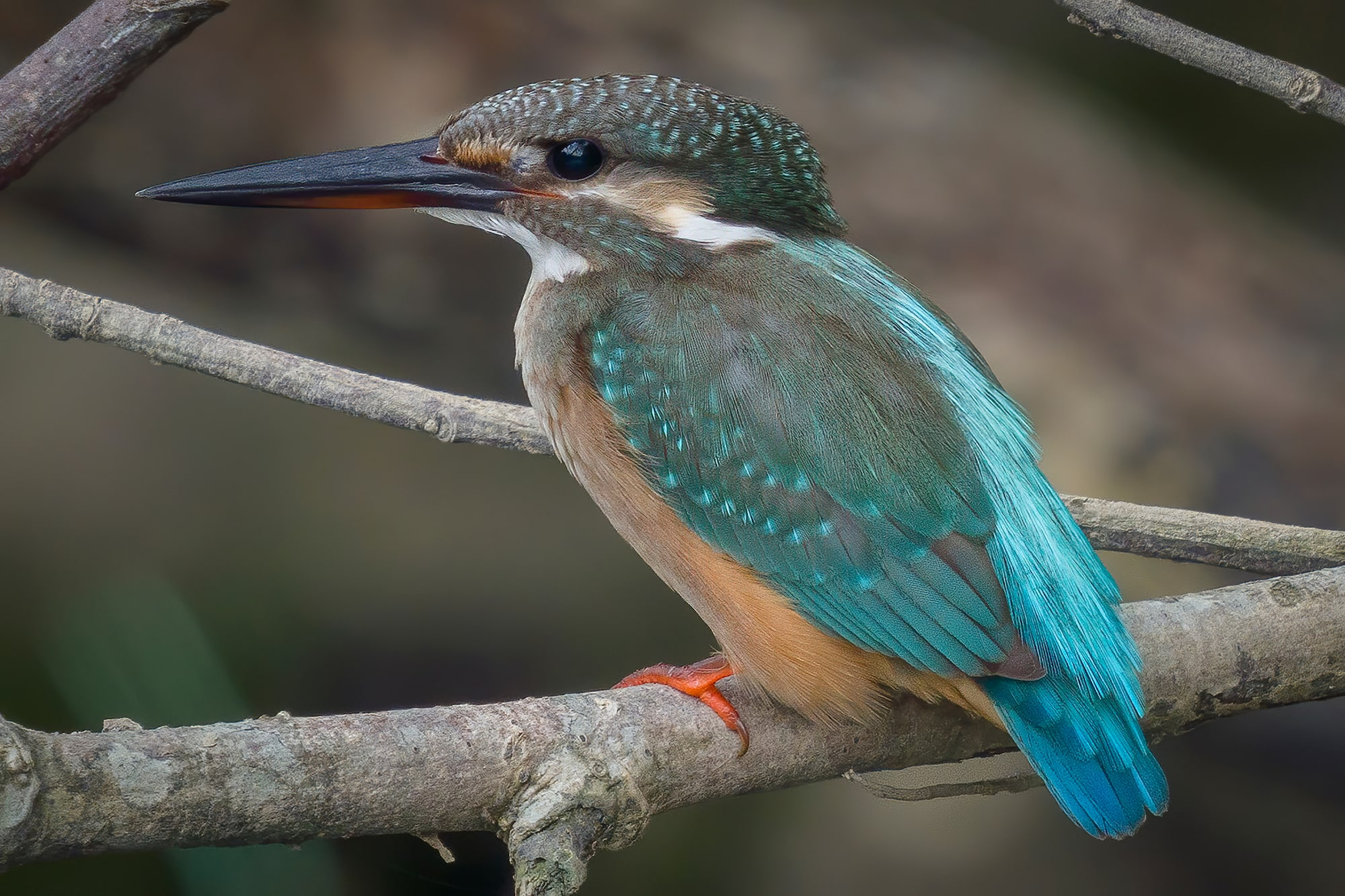 Sony Alpha 7R IV's 61 megapixels retain high resolution even after approx. 5x crop of Common Kingfisher on branch.