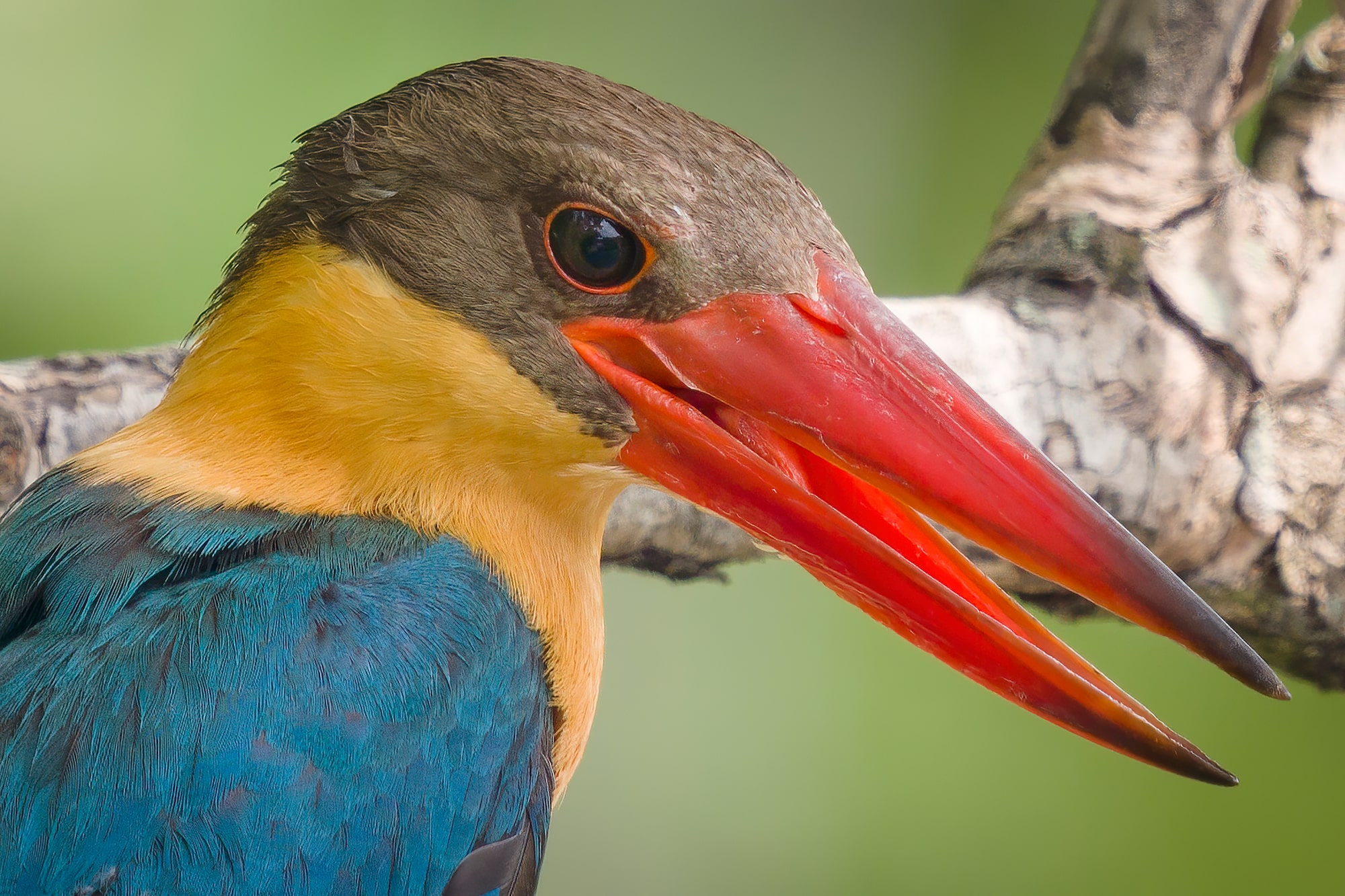Sony Alpha 7R IV's Real-time Eye Tracking with animal eye locks on Stork-billed Kingfisher on branch.