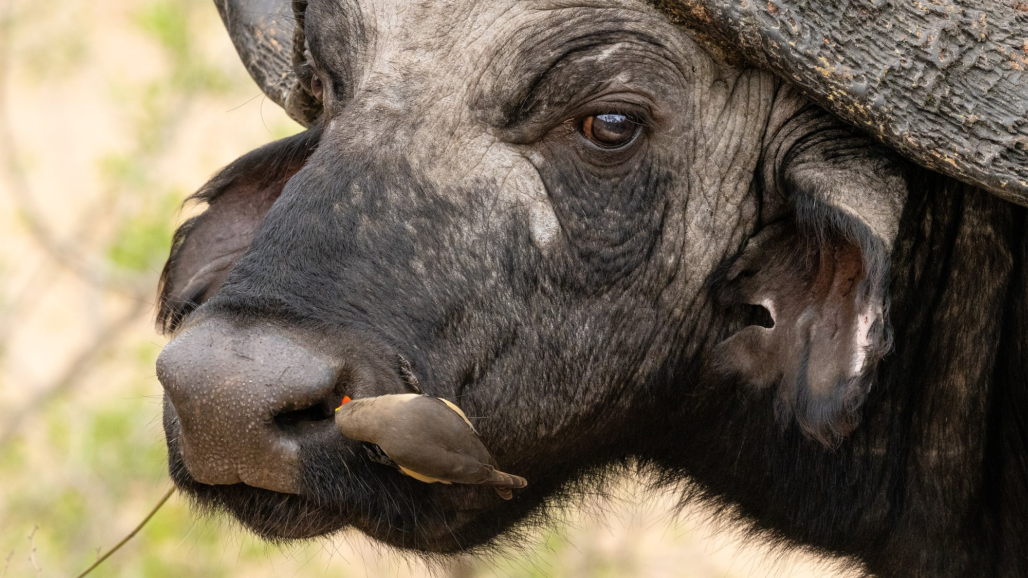 African buffalo and oxpecker in the safari