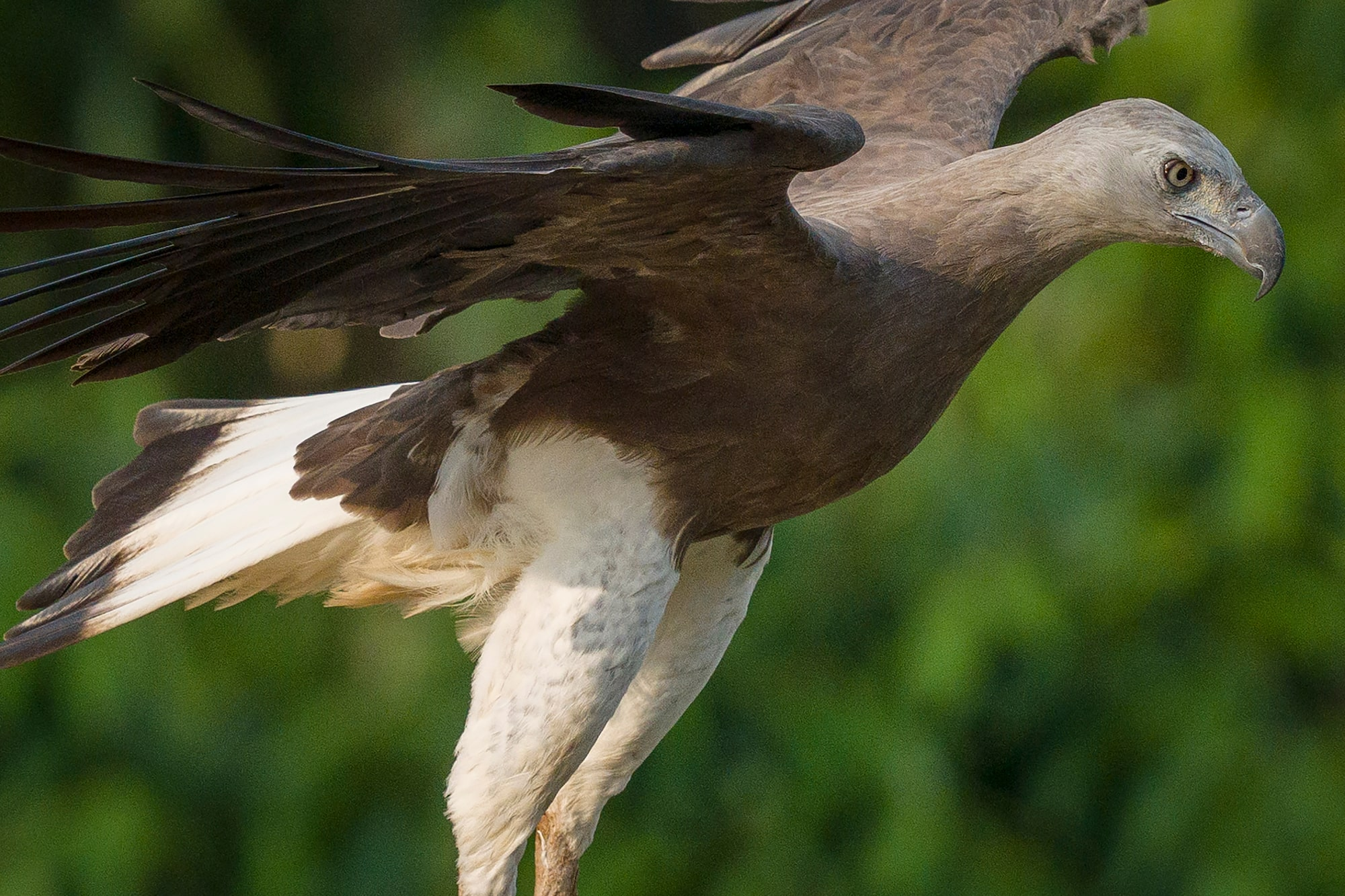 Sony Alpha 7R IV's 61 megapixels retain high resolution even in moderate crop of flying Grey-headed Fish Eagle.