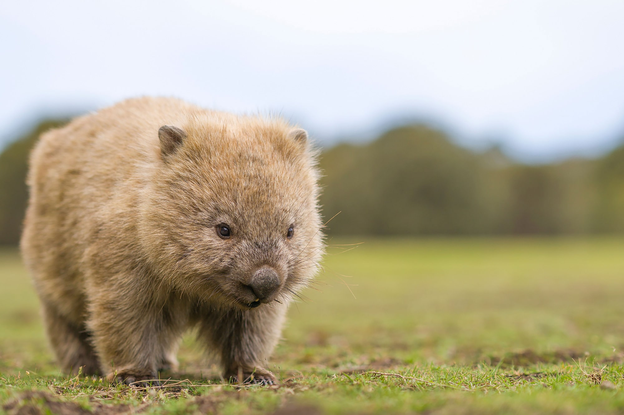 Wombat spotted in Tasmania