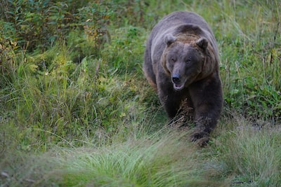 Image showing bear in grassy woodland environment